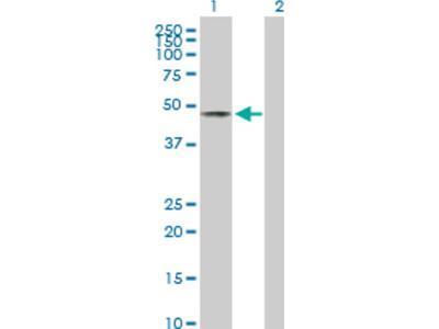 EOGT / AER61 Antibody