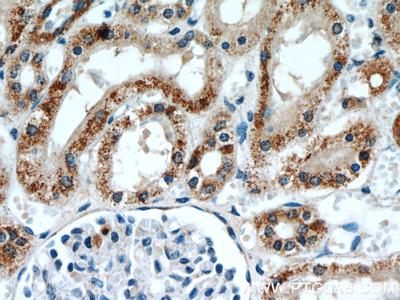 ANT1/2 Polyclonal Antibody