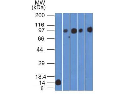 CD98 Antibody (1C11.7E3)