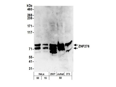 Rabbit Polyclonal ZNF276 Antibody