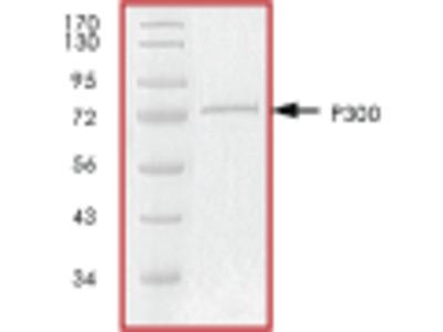P300 recombinant protein