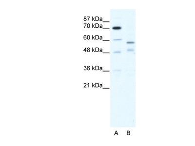 TRIM23 antibody