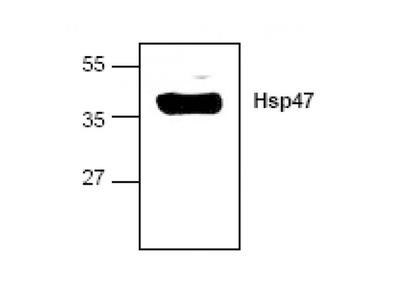 Hsp47 antibody