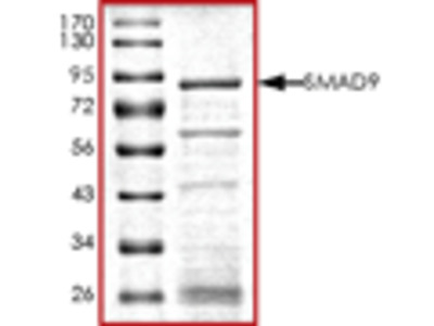 SMAD9 recombinant protein