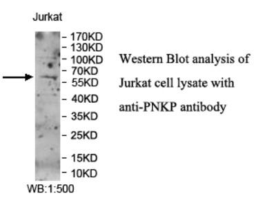 PNKP Antibody