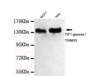 Mouse monoclonal TIF1 gamma / TRIM33 antibody
