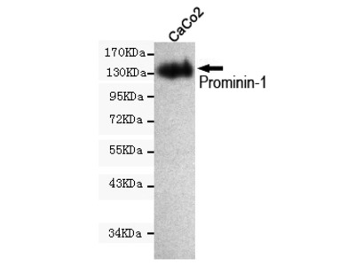 Mouse monoclonal Prominin-1 antibody