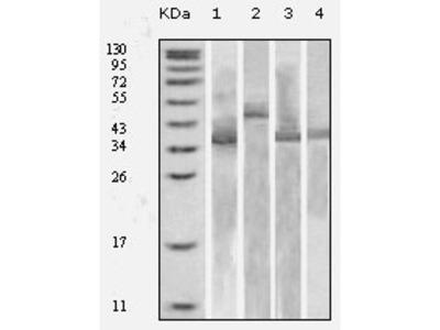 Thioredoxin antibody