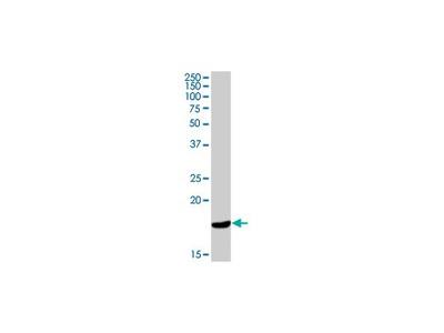 Mouse Anti-Cathelicidin [H7]