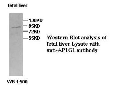 AP1G1 Antibody