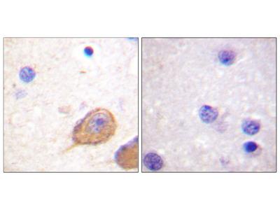 n-NOS (Phospho-Ser852) Antibody