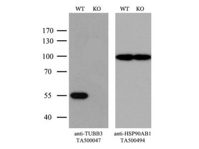 TUBB3 (beta III Tubulin) mouse monoclonal antibody, clone OTI5H2 (formerly 5H2)