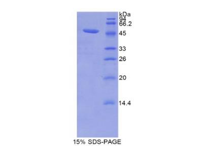 Recombinant Lipocalin 12 (LCN12)