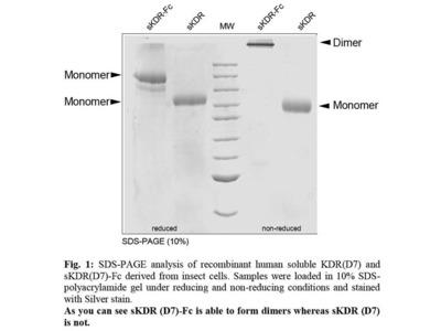 Human VEGFR-2/KDR (D7), soluble