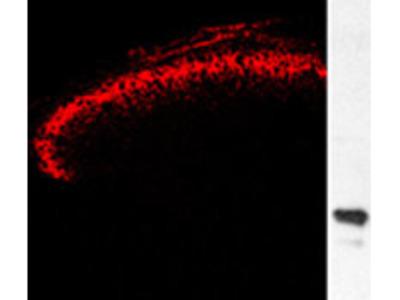 Green Fluorescent Protein (GFP), Antibody, Chicken