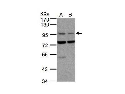 Axin 1 antibody