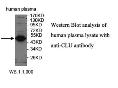 CLU Antibody