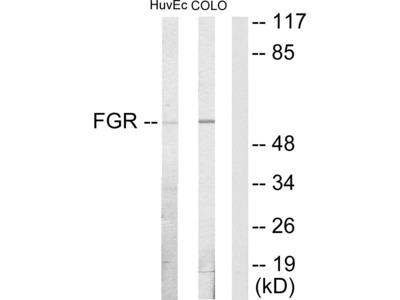 FGR Antibody