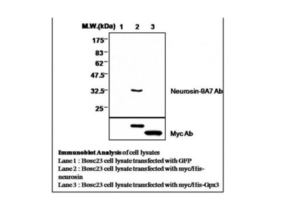 Neurosin antibody