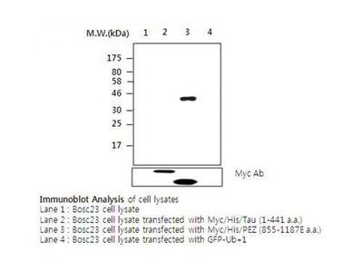 PEZ antibody