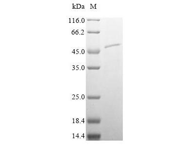 Recombinant Mouse Plasma serine protease inhibitor (Serpina5)