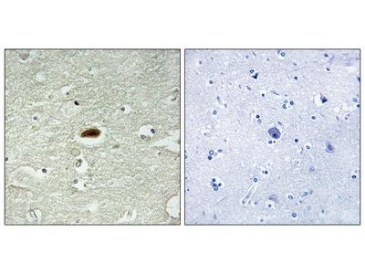 Period Circadian Protein 2 (Ab-662) Antibody