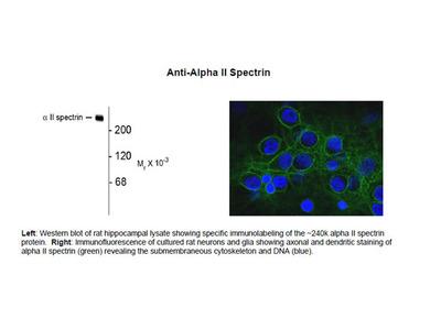 Anti-Alpha II Spectrin