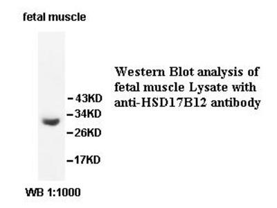 HSD17B12 Antibody