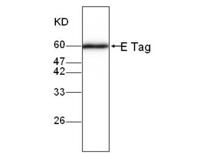 E Tag Antibody