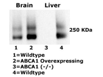 ABCA1 (clone: HJ1), Monoclonal Antibody, Mouse