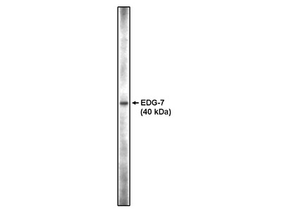 Lysophosphatidic Acid Receptor 3 CT (EDG-7)