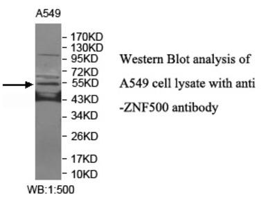 ZNF500 Antibody
