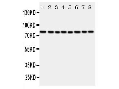 Anti-Cytochrome P450 Reductase antibody