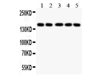 Anti-Collagen II antibody