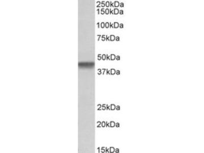 Goat anti-PTCD2 Antibody