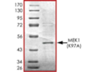 MEK1 (K97A), Unactive recombinant protein