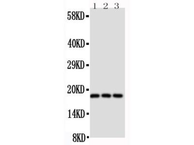 Anti-CD90/Thy1 antibody