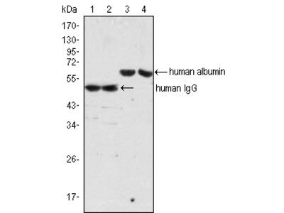 ALB Antibody