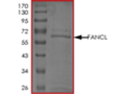 FANCL recombinant protein