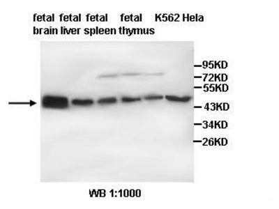 Anti-TUBB3 Antibody
