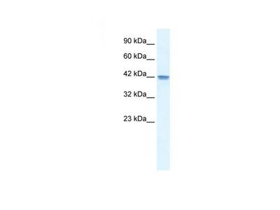 OR13C9 antibody
