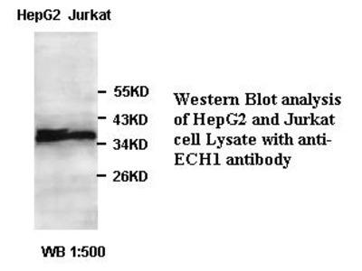 Anti-ECH1 Antibody