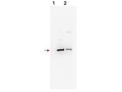 Beta TrCP2 Antibody