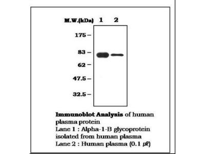 A1BG Monoclonal Antibody