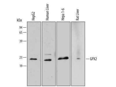 Glutathione Peroxidase 2 / GPX2 Antibody