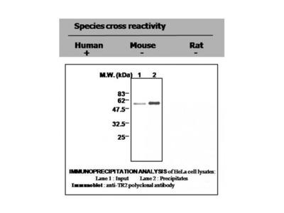 Thioredoxin Reductase 1 antibody