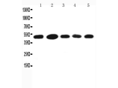 Anti-HSC70 Interacting Protein HIP antibody