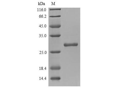 Recombinant Mouse Chymotrypsin-like elastase family member 3B (Cela3b)
