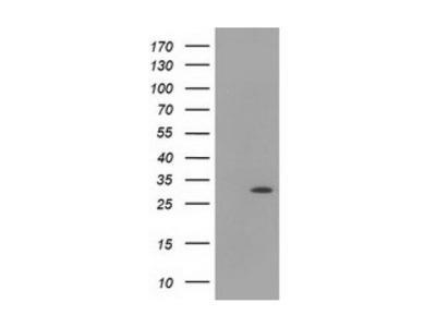 HAGHL antibody