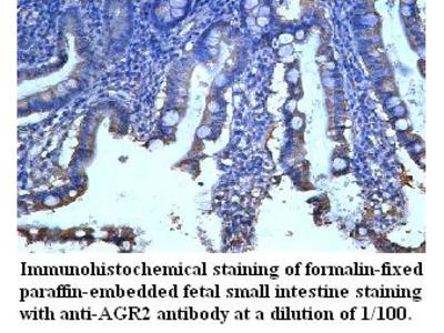AGR2 Antibody